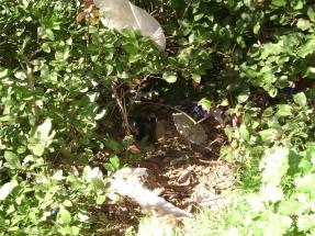 Ενδεικτικό σημείο τοποθέτησης παγίδας ωοθεσίας _κάτω από θάμνους