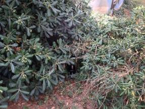 Ενδεικτικό σημείο τοποθέτησης παγίδας ωοθεσίας κάτω από θάμνους